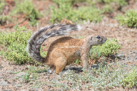 cape ground squirrel: A ground squirrel, Xerus inauris, between succulents in the Mountain Zebra National Park near Cradock in South Africa
