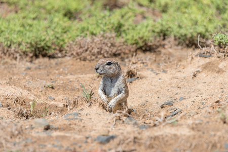xerus inauris: A ground squirrel, Xerus inauris, peeping out from its den in the Mountain Zebra National Park near Cradock in South Africa