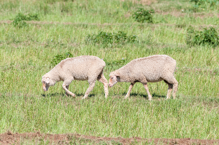 merino sheep: Merino sheep on a farm near Cookhouse, a small town in the Eastern Cape Province Stock Photo