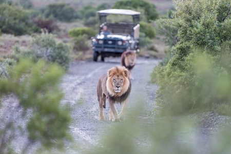 game drive: Two male lions in a typical scene on a game drive in a game park in South Africa