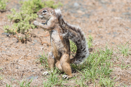 xerus inauris: A ground squirrel, Xerus inauris, standing upright in the Mountain Zebra National Park near Cradock in South Africa Stock Photo