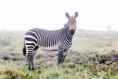 nature conservancy: A mountain zebra in mist covering the mountains of the Mountain Zebra National Park near Cradock in South Africa Stock Photo
