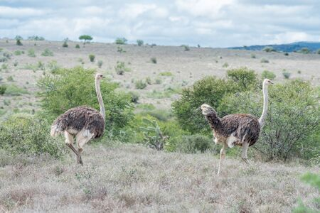 south african birds: Two female ostriches running on a farm in the Eastern Cape Province of South Africa