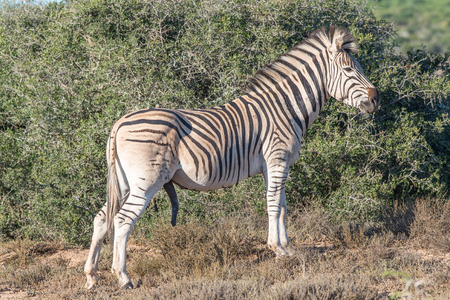 genitali: A Burchells zebra, Equus quagga burchellii, with genitals visible in the Addo Elephant National Park of South Africa