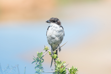 fiscal: A Common Fiscal, Lanius collaris, at Gwarrie Pan in the Addo Elephant National Park of South Africa Stock Photo