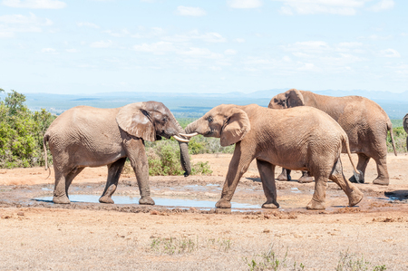 engaging: Two young African Elephant bulls engaging in a test of strength Stock Photo