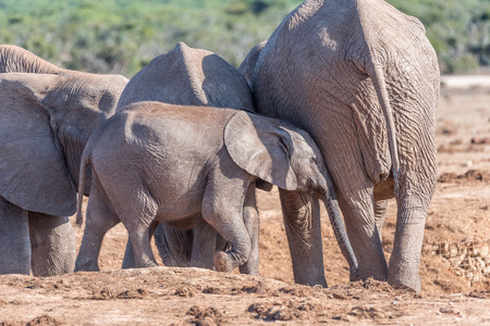 loxodonta africana: A young African Elephant calf, Loxodonta africana, trying to get the attention of its mother Stock Photo