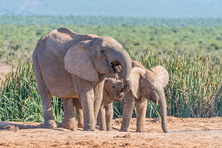 loxodonta: A female African Elephant, Loxodonta africana, and two calves drinking water
