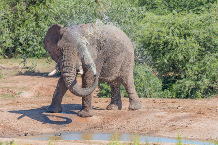 loxodonta africana: A young African Elephant, Loxodonta africana, spraying it self with muddy water Stock Photo
