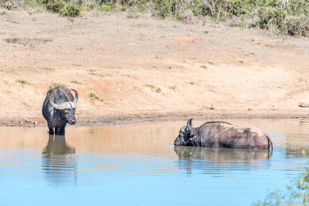 nature conservancy: Two African Buffaloes, Syncerus caffer, in the water of a dam Stock Photo