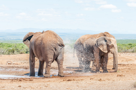 loxodonta: An African Elephant, Loxodonta africana, spraying it self with water Stock Photo