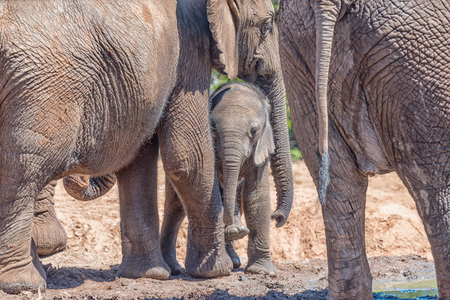 loxodonta africana: Safely with mother - an African Elephant mother, Loxodonta africana, comforting her calf Stock Photo
