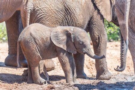 loxodonta africana: A tiny African Elephant calf, Loxodonta africana, surrounded by its family group