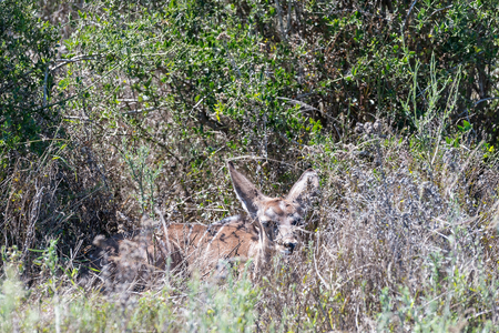 blends: A young kudu calf blends in perfectly with its surroundings