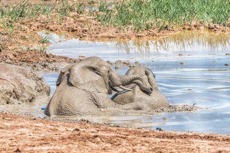 pozo de agua: Dos jóvenes elefantes jugando en un pozo de agua fangosa