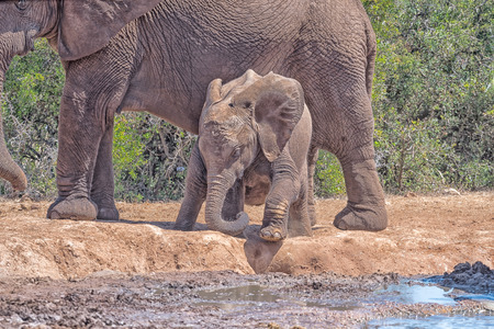 loxodonta africana: A young African Elephant calf, Loxodonta africana, trying to climb down to the water, using its trunk as extra leg