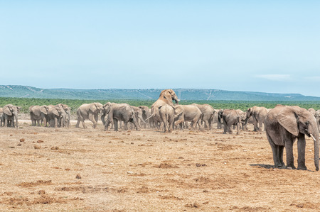 animal mating: A large herd of elephants with two elephants mating