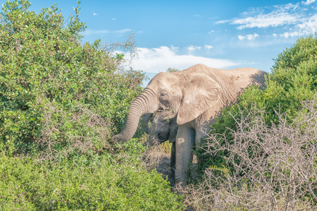 africana: Two african elephants, Loxodonta africana, browsing on shrubs Stock Photo