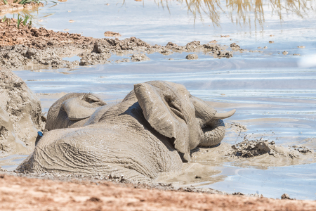 loxodonta africana: Two elephants, Loxodonta africana, playing in a waterhole