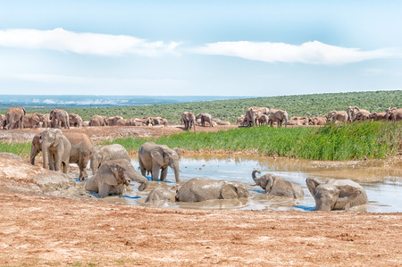 nature conservancy: A large group of elephants at a muddy waterhole