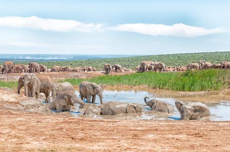 at waterhole: Un gran grupo de elefantes en una charca fangosa