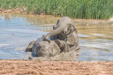 pozo de agua: Dos elefantes, Loxodonta africana, jugando en un pozo de agua