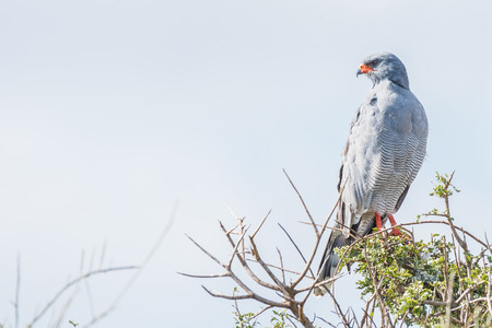 goshawk: A Southern Pale Chanting Goshawk, Melierax canorus, looking over its shoulder Stock Photo