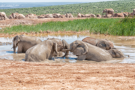 pozo de agua: Several young elephants playing in a muddy waterhole
