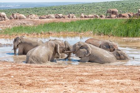 at waterhole: Varios jóvenes elefantes jugando en un pozo de agua fangosa