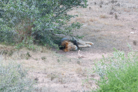 african lion: A male African lion, Panthera leo, doing what cats does best - sleeping