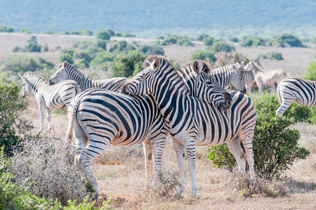 headrest: Two Burchells zebras, Equus quagga burchellii, using each others backs as headrest Stock Photo