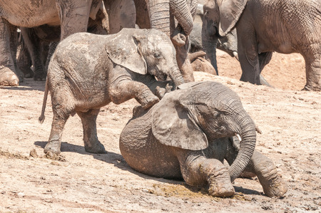 africana: Two mud covered African Elephants, Loxodonta africana, calves playing