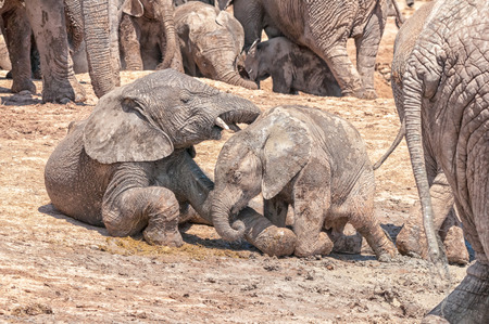 loxodonta africana: Two mud covered African Elephant calves, Loxodonta africana, playing