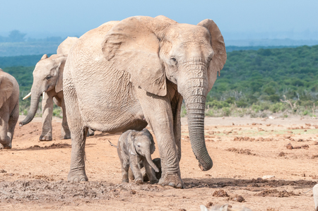loxodonta: A tiny elephant calf, Loxodonta africana, walking between its mothers legs Stock Photo