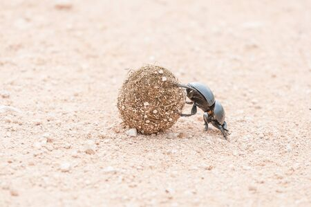 A female flightless dung beetle, Circellium bacchus, rolling a dung ball with its hind legs Stock Photo
