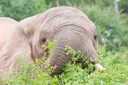 loxodonta africana: Close-up of an African elephant, Loxodonta africana, browsing on shrubs in cloudy conditions