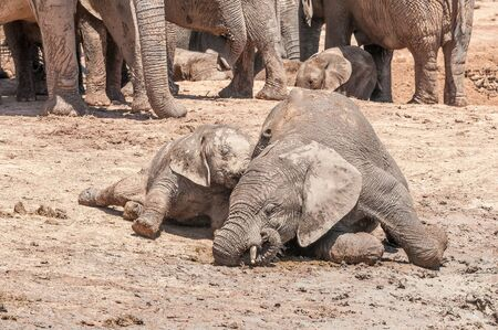africana: Two mud covered African Elephant calves, Loxodonta africana, playing