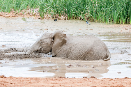 loxodonta africana: An African elephant calf, Loxodonta africana, playing in a muddy waterhole