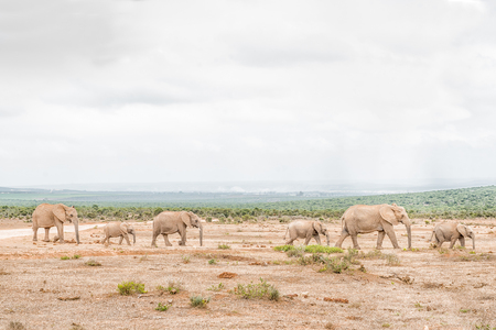 loxodonta: A queue of African elephants, Loxodonta africana, on their way to drink at a waterhole Stock Photo