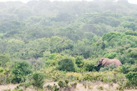 loxodonta: An African elephant, Loxodonta africana, browsing on shrubs in misty conditions Stock Photo