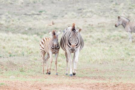 yegua: Burchells cebra embarazadas yegua y su potro