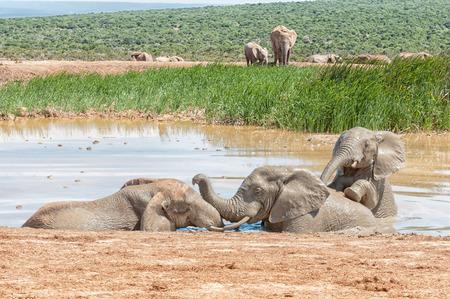 pozo de agua: Three young elephants playing in a muddy waterhole Foto de archivo