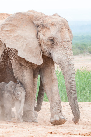 loxodonta: A tiny African elephant calf, Loxodonta africana, walking in dust kicked up by its mother