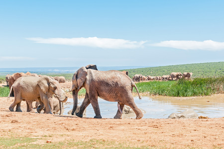 genitals: A large group of mud colored elephants at a waterhole. The genitals of a young bull is visible