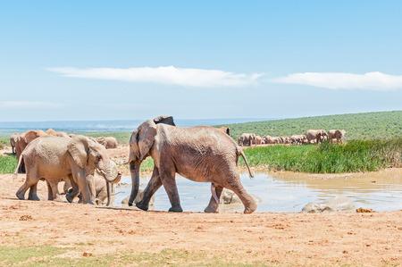 genitali: Un folto gruppo di fango elefanti colorati in una pozza d'acqua. I genitali di un giovane toro è visibile