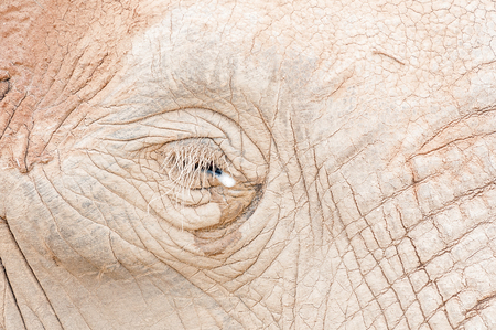 loxodonta africana: Close-up of the mud covered face around the eye of an African elephant, Loxodonta africana