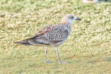 south african birds: A immature kelp gull, Larus dominicanus on grass Stock Photo