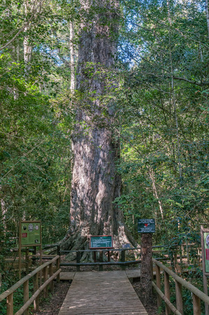 KNYSNA, SOUTH AFRICA - MARCH 5, 2016: The King Edward VII big tree, a 1000 year old yellowwood tree in the Knysna Forest near Diepwalle