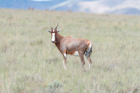 looking towards camera: A blesbok, Damaliscus pygargus phillipsi, looking towards the camera near Cradock in South Africa
