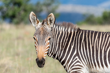 looking towards camera: A mountain zebra, Equus zebra zebra, looking towards the camera near Cradock in South Africa Stock Photo